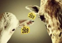 269_girafe